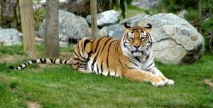 tigre-zoo-la-fleche-2